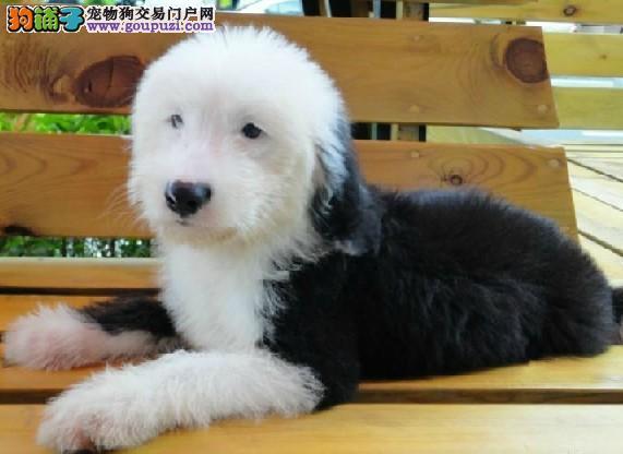 出售高端古代牧羊犬,可办理血统证书,购犬可签协议
