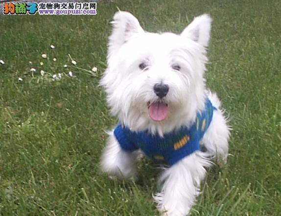 纯白色,机灵可爱西高地梗犬出售