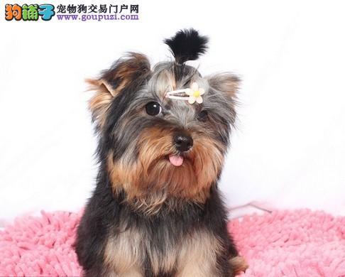 重庆实体店低价促销赛级约克夏幼犬签正规合同请放心购买