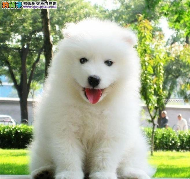 萨摩耶幼犬专业的喂养方法有哪些方面