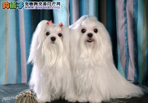 天津犬业出售高贵气质马尔济斯犬