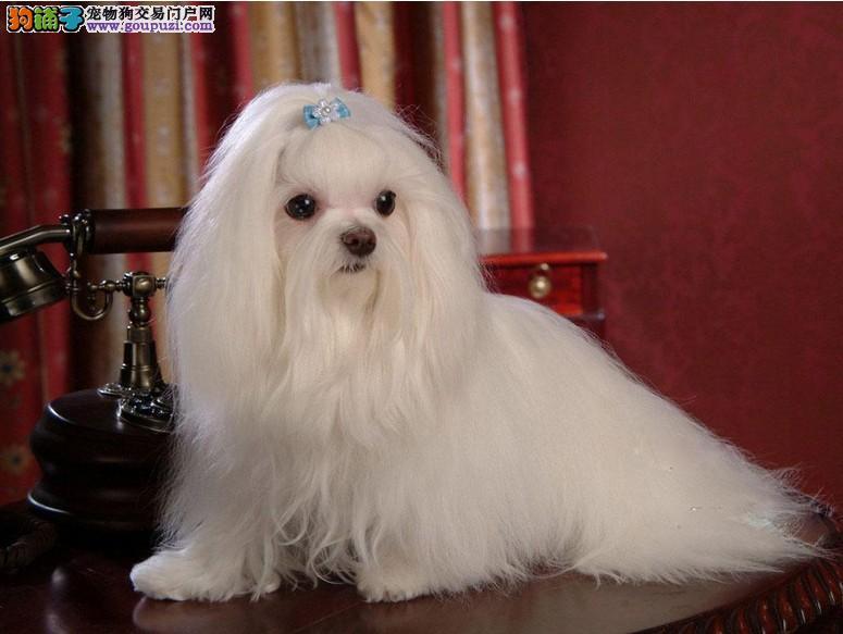 出售宠物狗马尔济斯犬 长毛小型犬迷你茶杯犬 疫苗驱虫已做