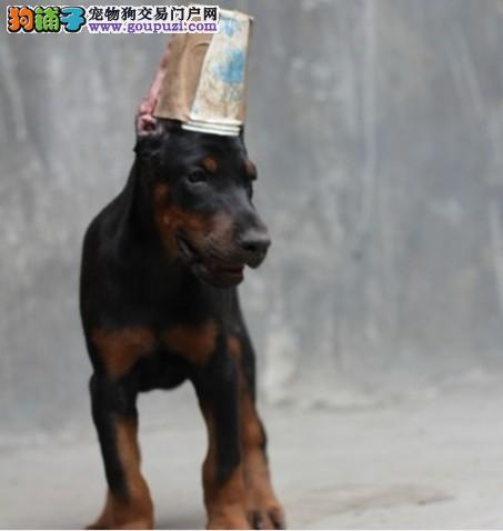 出售赛级杜宾犬,高端大气精典品质,三年联保协议
