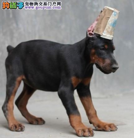 极品纯正的郑州杜宾犬幼犬热销中三针疫苗齐全2