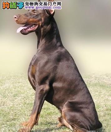 CKU注册犬业专业基地繁殖双冠血统纯种杜宾质保