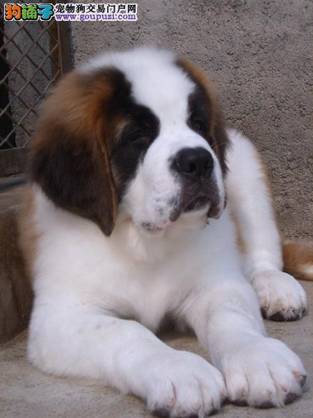 温州出售高大威猛圣伯纳幼犬纯种健康品相优良签订协议