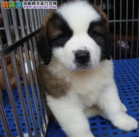 广州长期出售圣伯纳犬幼犬价格合理.