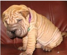 沙皮狗在合肥哪儿有卖啊 出售健康沙皮狗