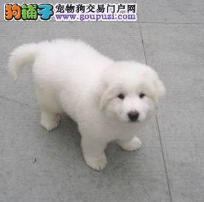基地超低价格出售纯种大白熊幼犬,可上门选购1