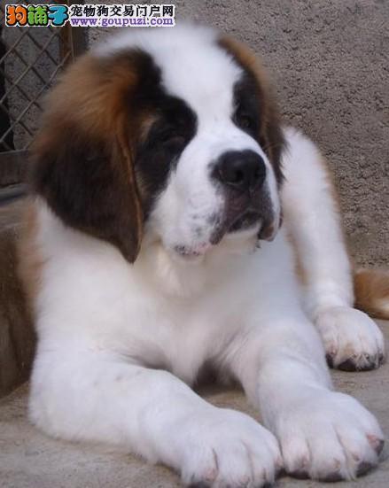出售圣伯纳幼犬 可上门挑选
