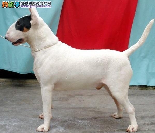 出售纯种健康的自贡牛头梗幼犬保障品质一流专业售后