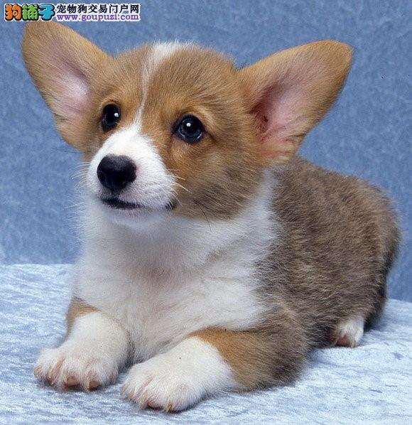 延安出售矮脚柯基犬专业繁殖保证纯种送狗上门养死包换