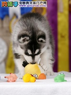 白银双蓝眼哈士奇幼犬出售品相好二哈幼犬性格好血统好
