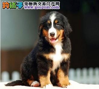 东莞市出售伯恩山幼犬 健康聪明 包售后纯种 疫苗已打