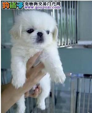 大型专业培育京巴幼犬包健康微信选狗直接视频