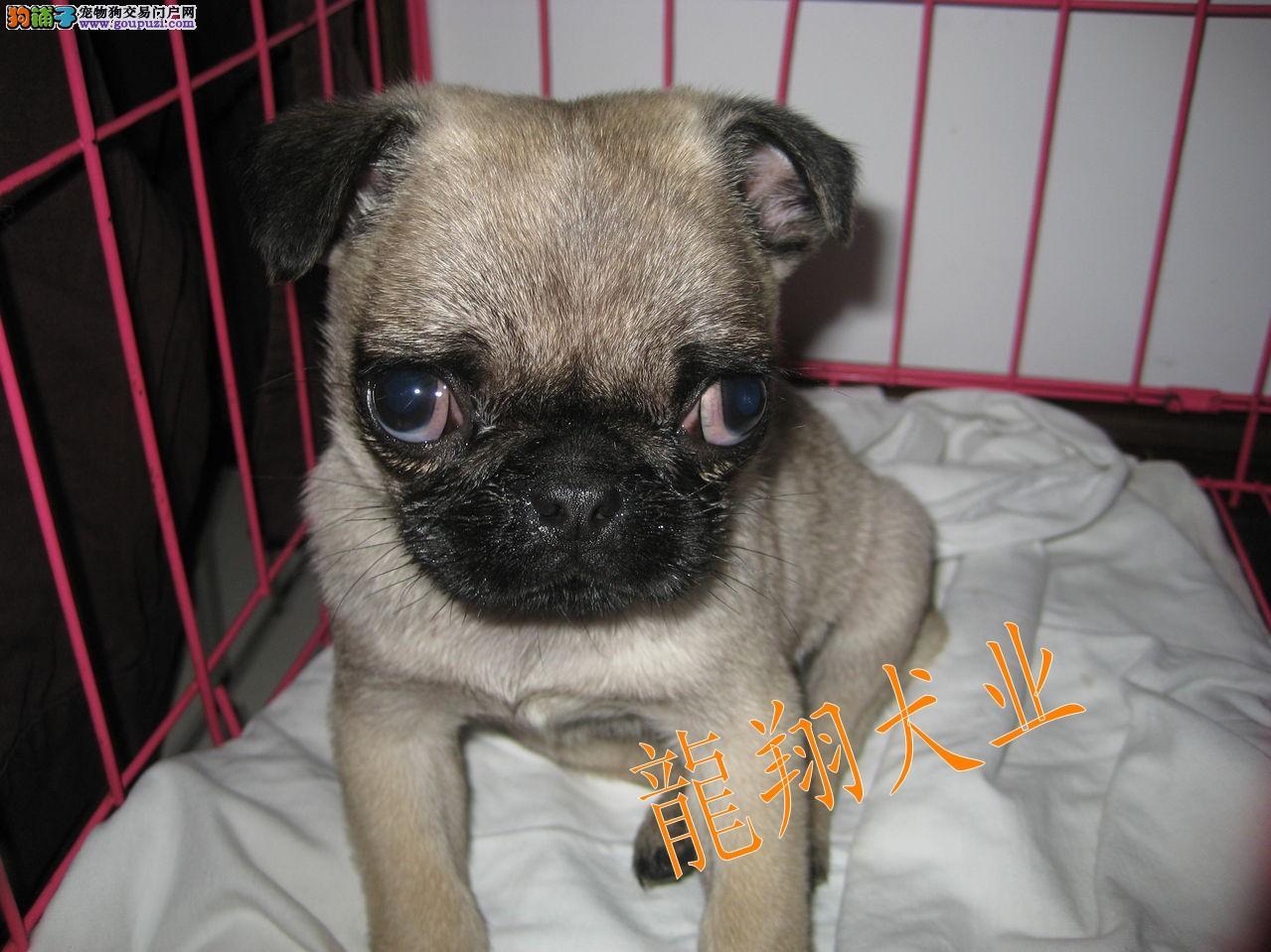 健康 巴哥犬/全场优惠出售巴哥犬健康纯种可签订合同