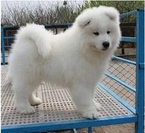 聪明活泼宠物级萨摩耶犬,白色纯种、支持送货