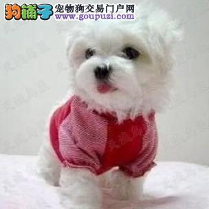 出售马尔济斯幼犬宝宝包健康可上门