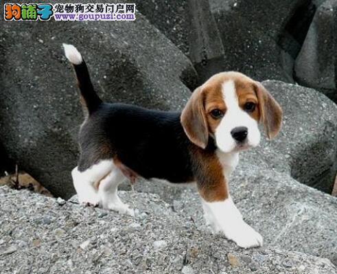 出售纯种米格鲁比格犬、 健康保证、信誉保证 诚信质保