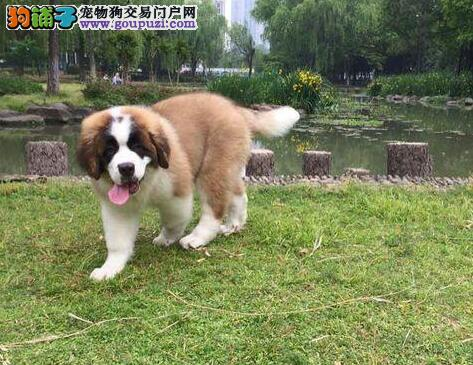 郑州市售圣伯纳德犬幼犬 公母都有圣伯纳犬