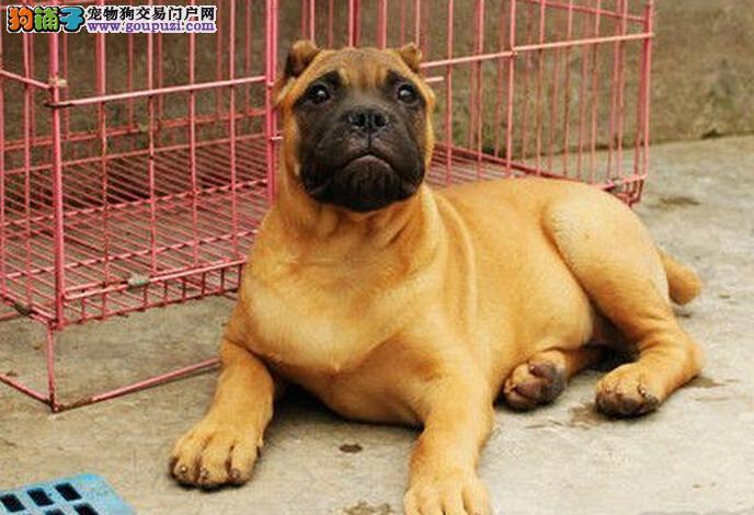家养一窝纯种卡斯罗幼犬低价出售 签协议 公母都有