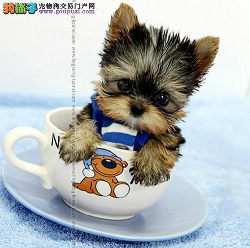 昆明专业繁育韩国纯小体约克夏犬出售包健康已驱虫疫苗