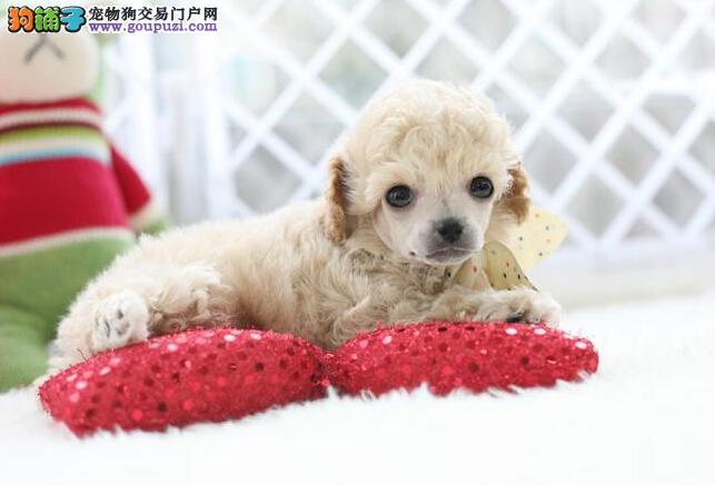 棕色的卷毛狗名字大全图片2