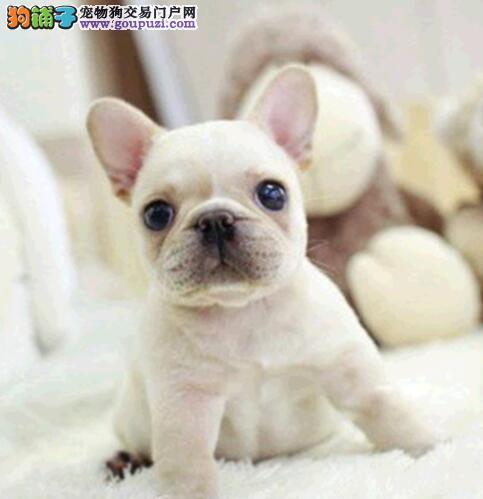 高端法国斗牛犬幼犬、可看狗狗父母照片、三年质保协议2