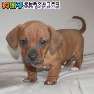 纯种赛级腊肠犬,真实照片视频挑选,提供养狗指导