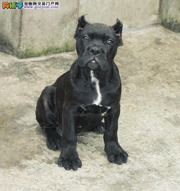 火爆出售血统纯正的沈阳卡斯罗犬价格美丽品质优良
