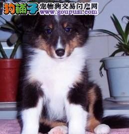 金华出售喜乐蒂颜色齐全公母都有全国十佳犬舍