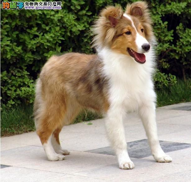 万宁三色苏格兰牧羊犬幼犬售卖 赛级血统 品相完美