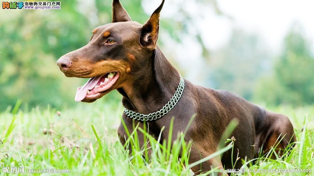 赛级品相南昌杜宾犬幼犬低价出售国际血统认证2