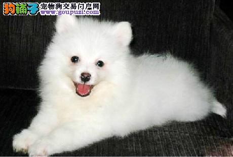 精品银狐犬幼犬一对一视频服务买着放心欢迎实地挑选