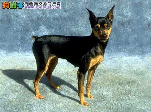 南昌专业的杜宾犬犬舍终身保健康终身完善售后服务1