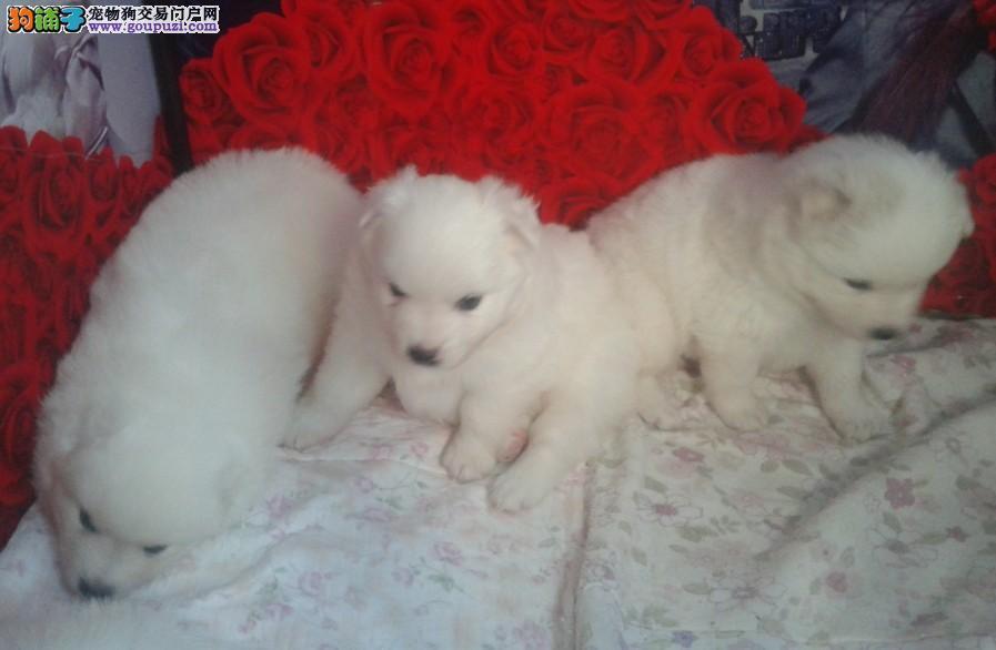 专业繁殖高品质赛级银狐犬,顶级品质 健康第一2