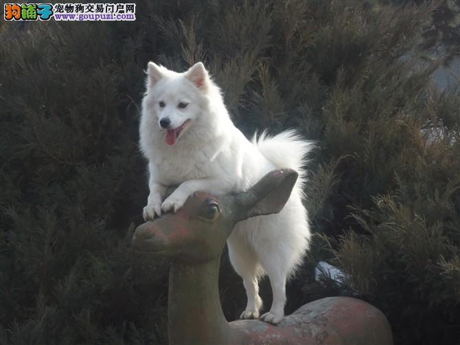 大型专业培育银狐犬幼犬包健康上门可见父母
