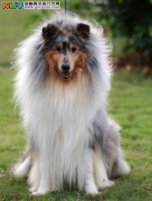 包头市出售健康苏格兰牧羊犬 可视频看狗 签售后协议