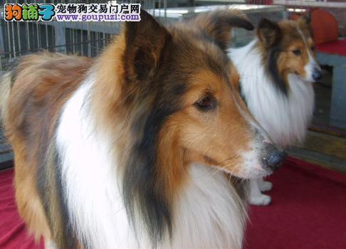 犬舍直销苏牧 品质健康保证 信誉第一