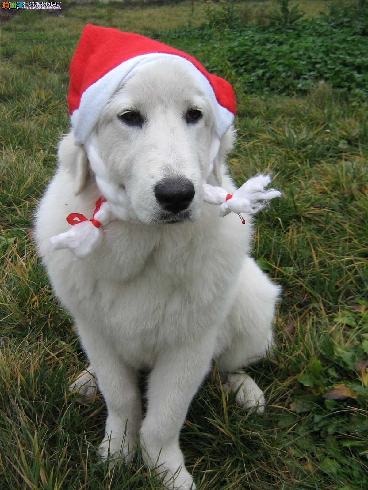 AKC认证专业繁殖赛级纯种大白熊幼犬签订质保协议图片