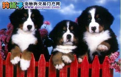 精品伯恩山热销中、可办理血统证书、提供养狗指导