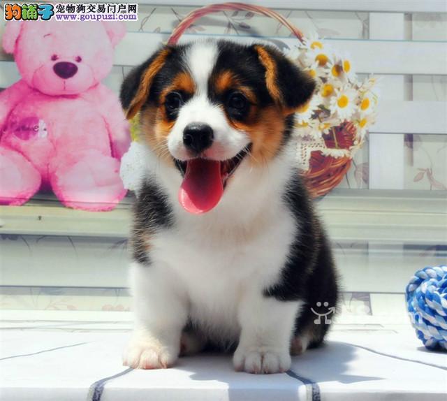 威尔士柯基犬价格合理多数量选择 专业繁殖