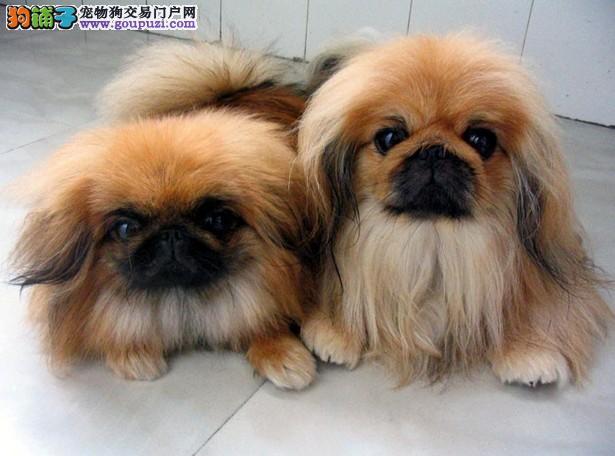 哪里有卖可爱乖巧活泼美丽毛线球般的宠物狗迷人京巴幼犬