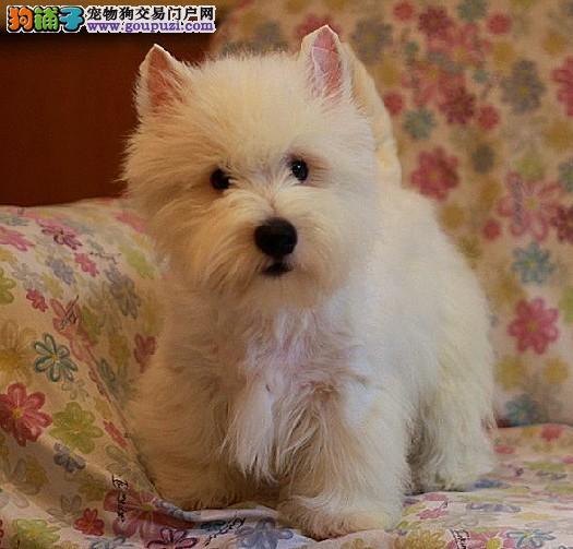 唐山市出售西高地白梗 公母都有 疫苗齐全 可视频看狗