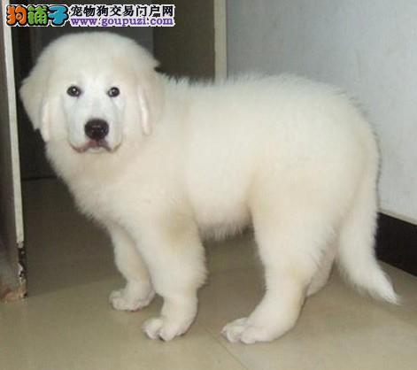 专业大白熊繁殖基地出售赛级大白熊幼犬