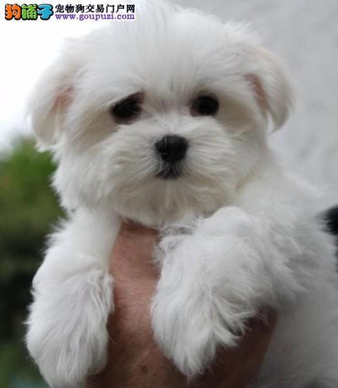 拉萨市出售马尔济斯犬纯种马尔济斯犬多少钱一只包纯种