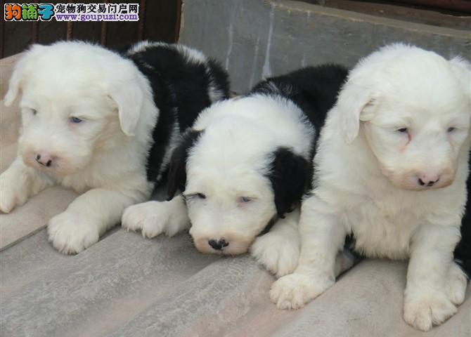 出售纯种古牧幼犬品质好白头黑背骨骼粗欢迎选购