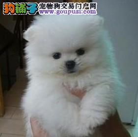 家养赛级银狐犬宝宝品质纯正同城免费送货上门
