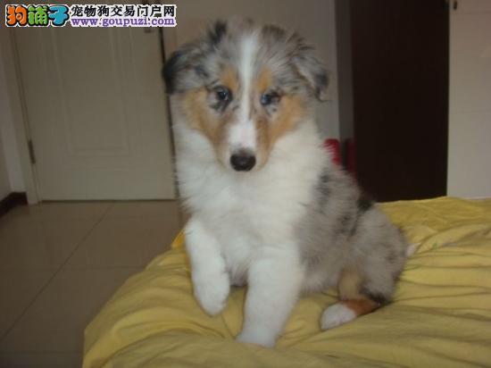 重庆出售专业繁殖 苏格兰牧羊犬 质保三年