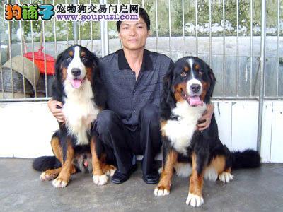 出售纯正伯恩山犬疫苗齐全保证健康欢迎可上门选购